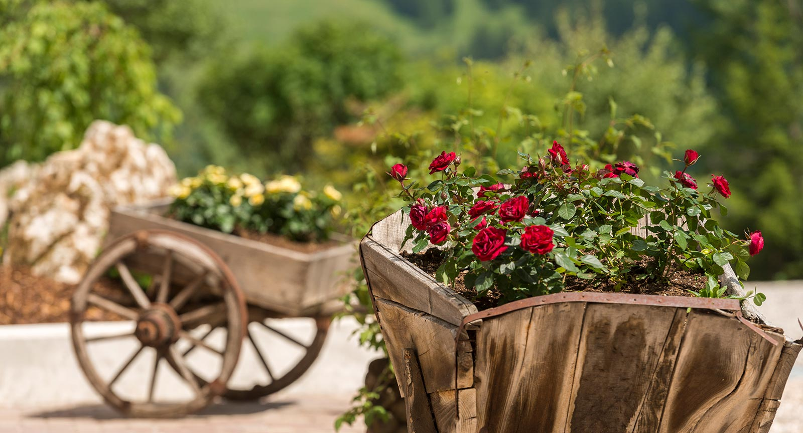 red roses planted in an old wooden wheelbarrow in the garden of Lech da Sompunt
